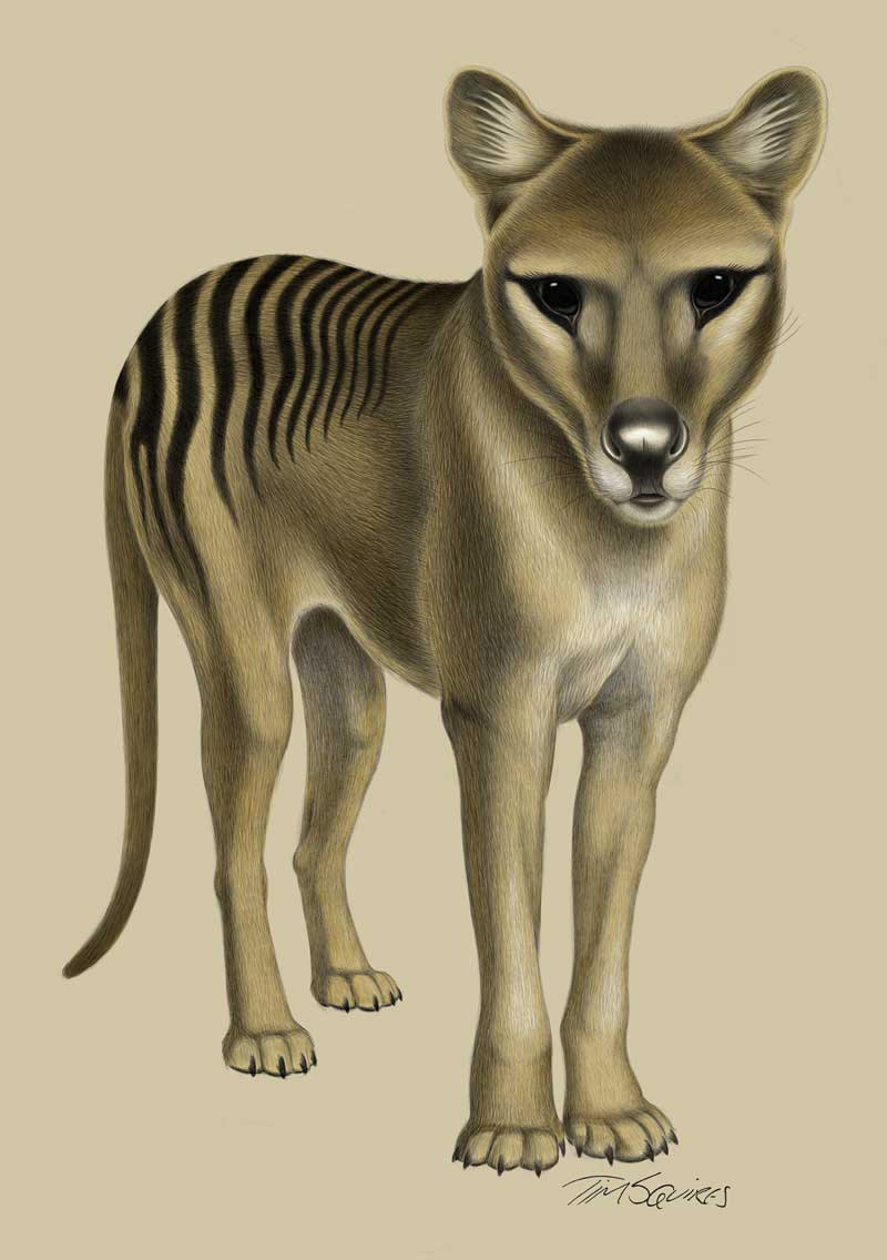 Alert Thylacine by Tim Squires. Digital drawing.