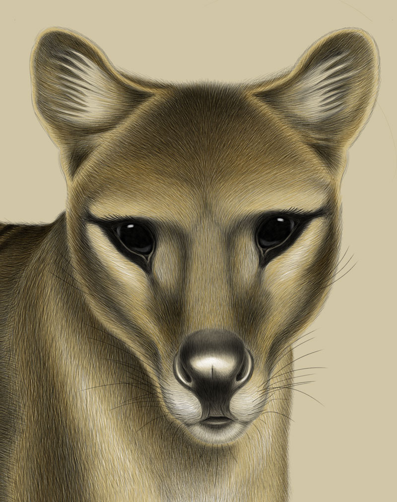 Facial detail from 'Alert Thylacine' – artwork by Tim Squires