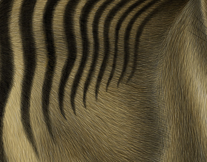 Drawing the Tasmanian tiger