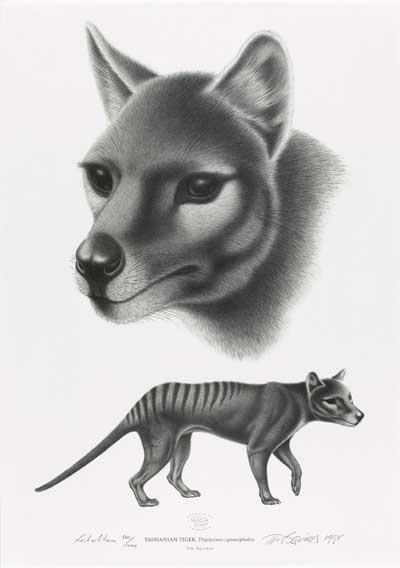 Tasmanian tiger by Tim Squires