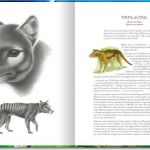 Animals of Tasmania. Thylacine. Main drawing, pencil. Smaller drawing, ink and wash.