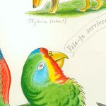 Tim Squires swift parrot detail