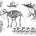 Thylacine skeleton drawings.