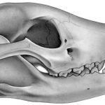 Thylacine skull. Pencil on paper.