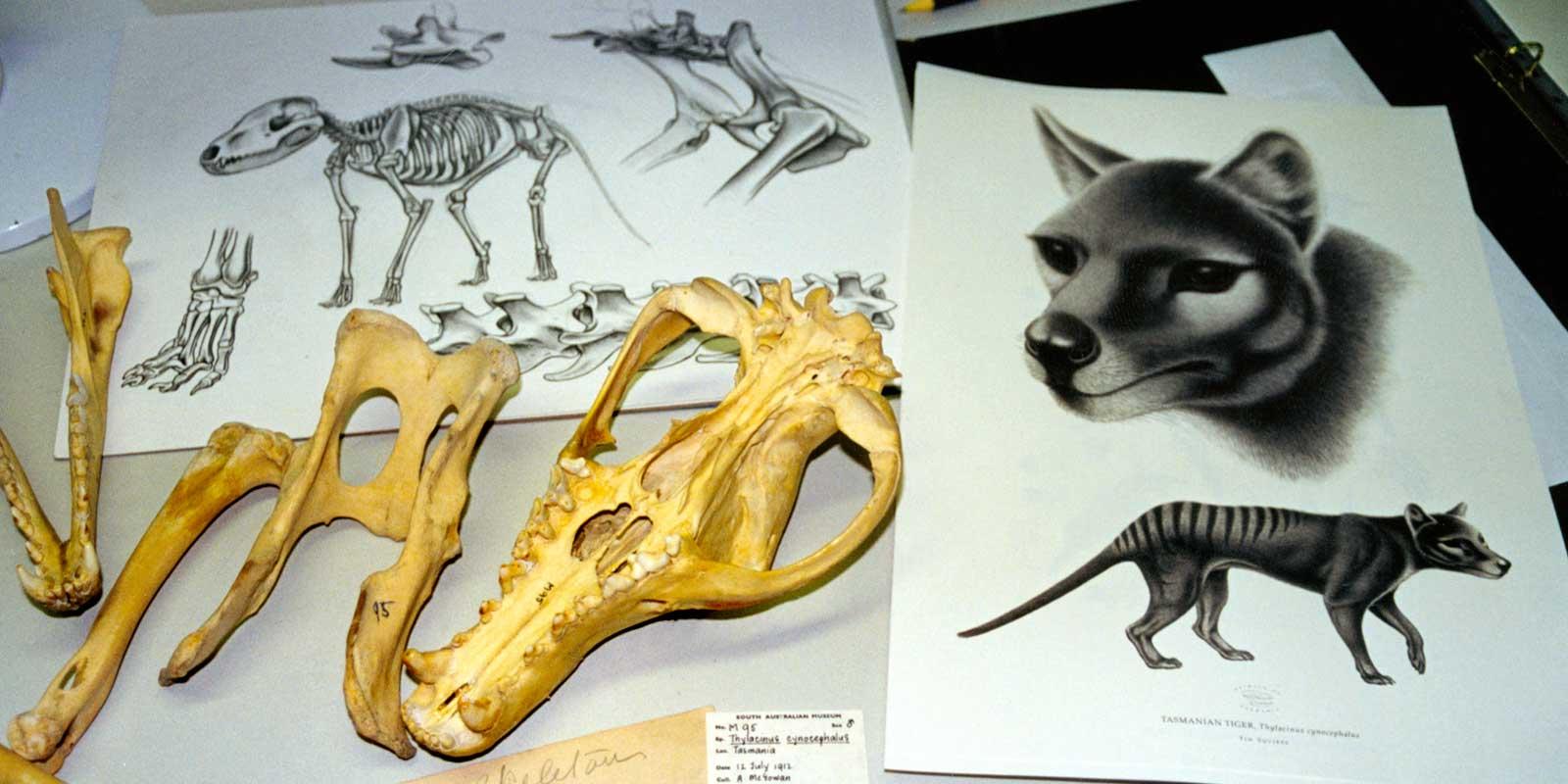 Studies of Tasmanian tiger (thylacine) anatomy by Tim Squires