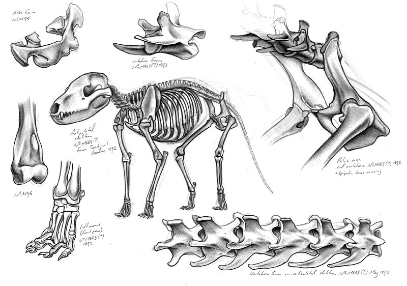 Thylacine skeleton drawings by Tim Squires