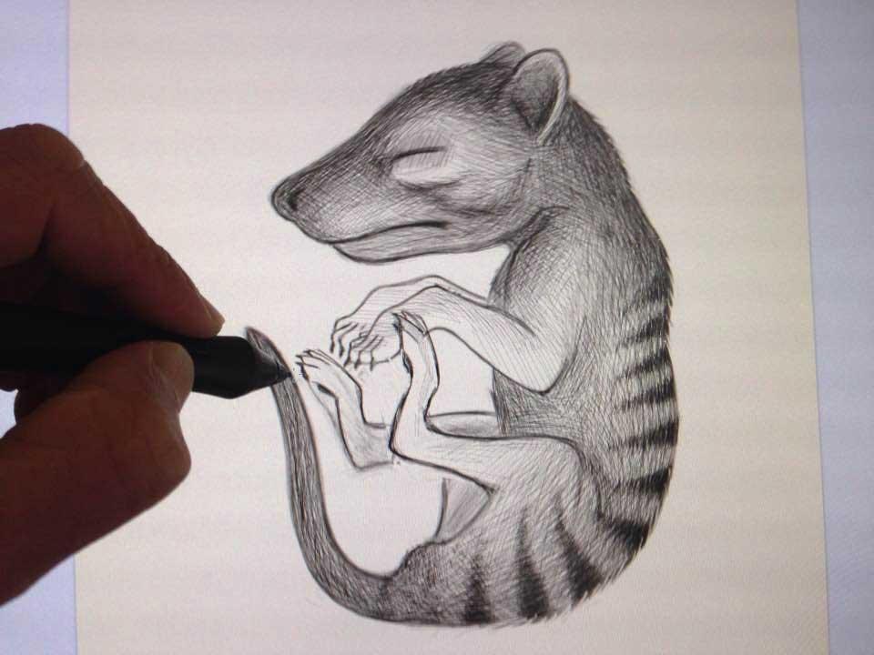 Thylacine pup sketch in progress.