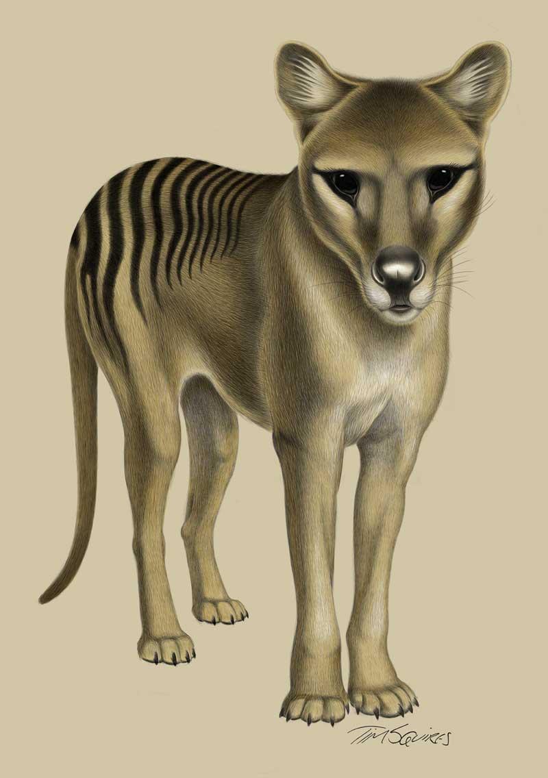 Alert Thylacine by Tim Squires. Digital drawing.