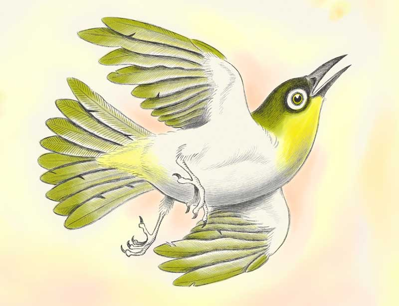 Lord Howe Island white eye by Tim Squires for the book Only The Empty Sky.